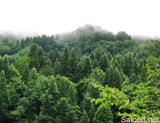 ヒバの森林